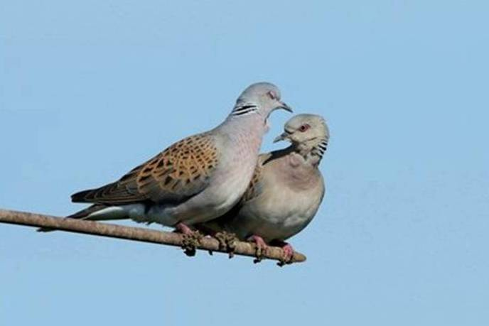 Turtle dove Streptopelia turtur, pair perched on agricultural machinery, Essex, England, June, photo credit: Andy Hay #showthe love