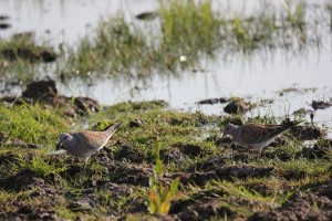 Turtle dove on wetland. Establishing feeding habitat