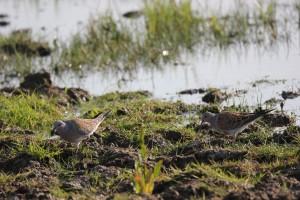 Turtle dove on wetland. Establishing feeding habitat