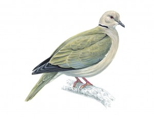 Mike Langman illustration collared dove