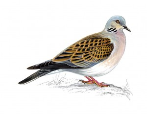 Mike Langman illustration turtle dove