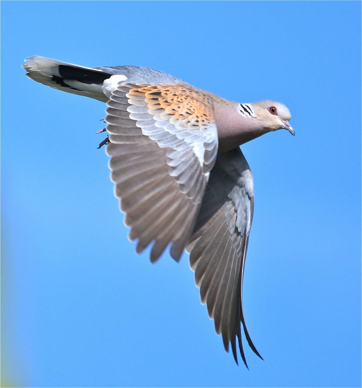 Ensuring Safe Passage For Turtle Doves On Migration Operation Turtle Dove