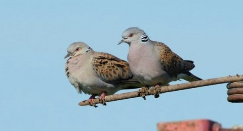how to identify a turtle dove operation turtle dove