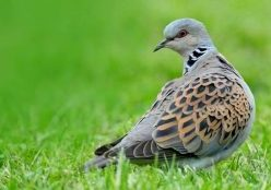 Turtle dove Streptopelia turtur, standing on grass, Essex, England, June, photo credit: Andy Hay