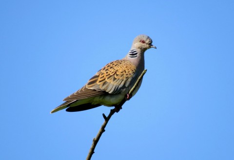 What Is A Turtle Dove Operation Turtle Dove