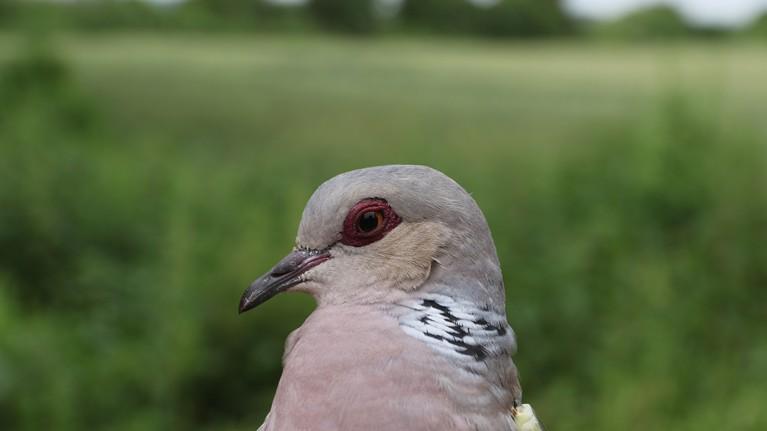 Myrtle the turtle dove