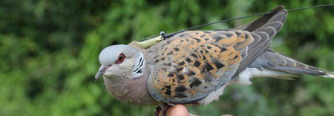 Lawford just prior to release (copyright Chris Orsman - RSPB Images)