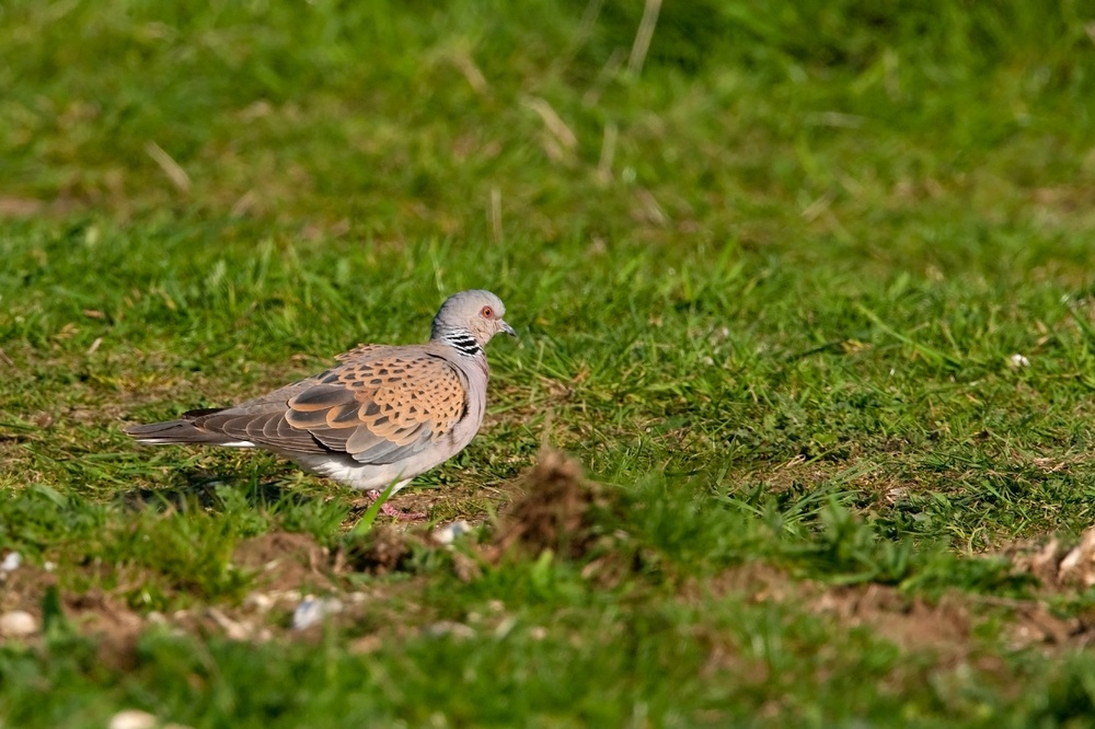 Turtle dove - Wensum Monitoring