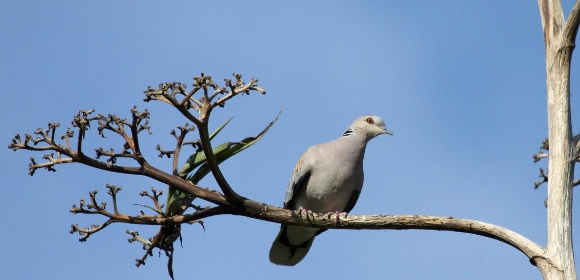Turtle dove in Morocco © Barend van Gemerden