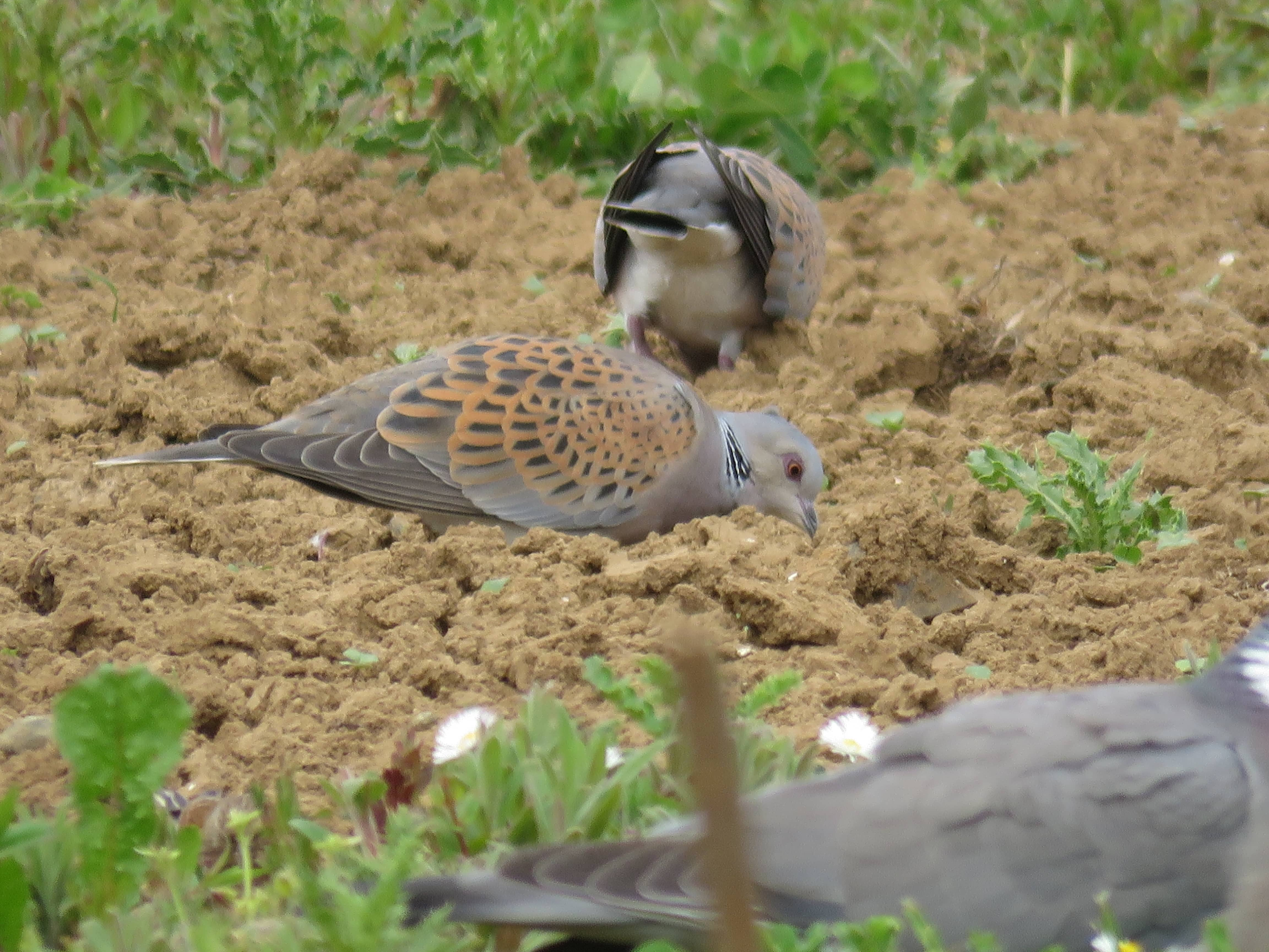 Turtle dove feeding on a supplementary feeding plot