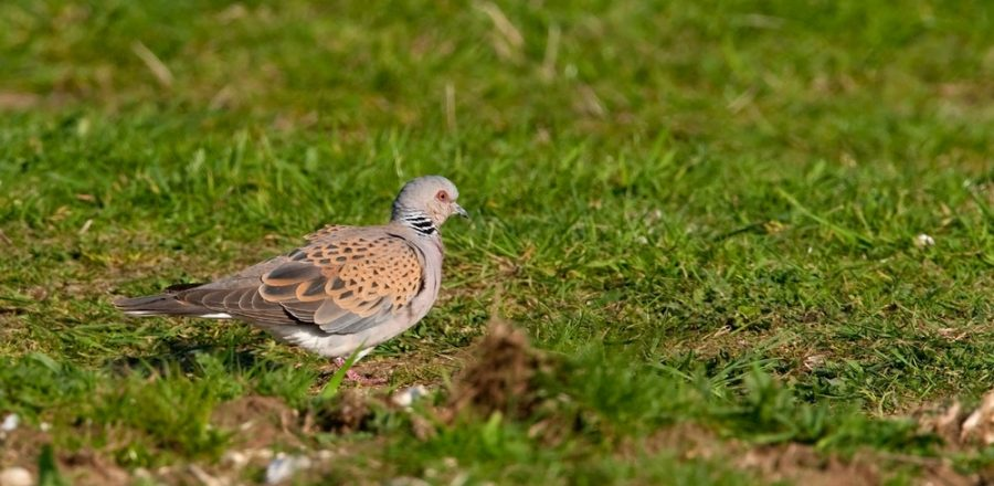 Turtle dove foraging in field