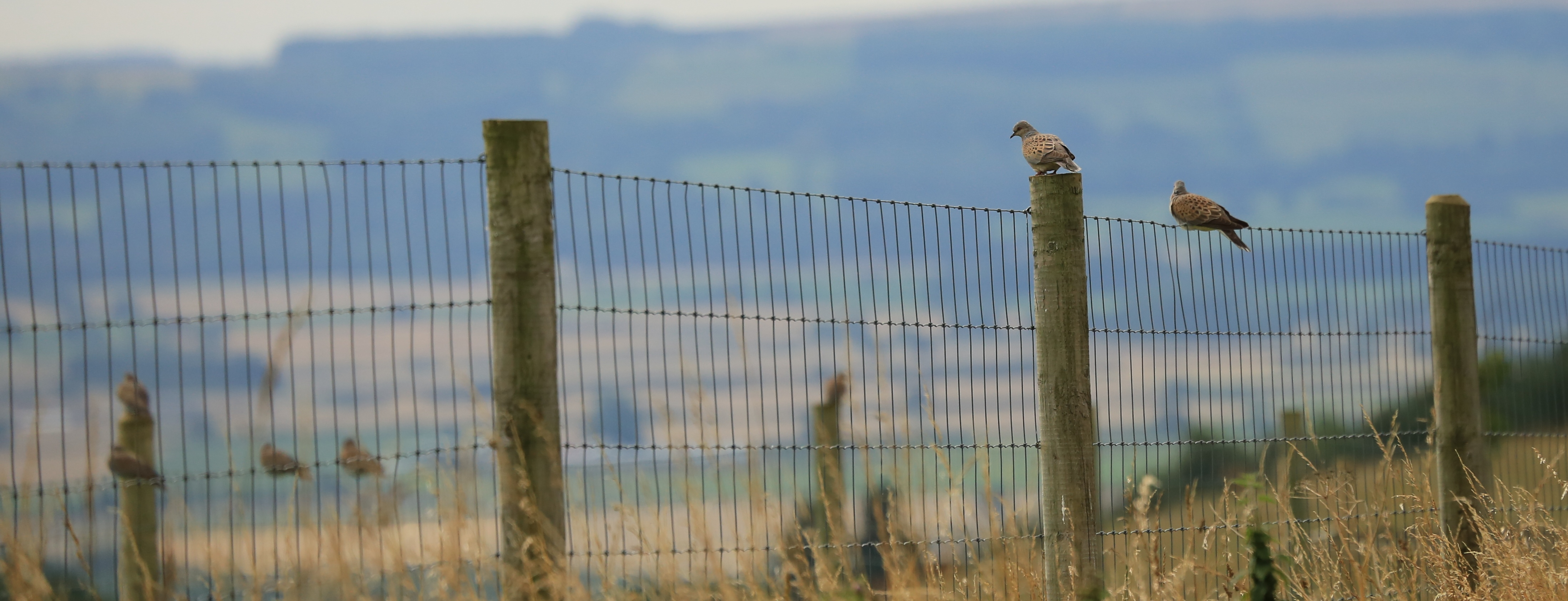 Seven turtle doves on fence in Yorkshire