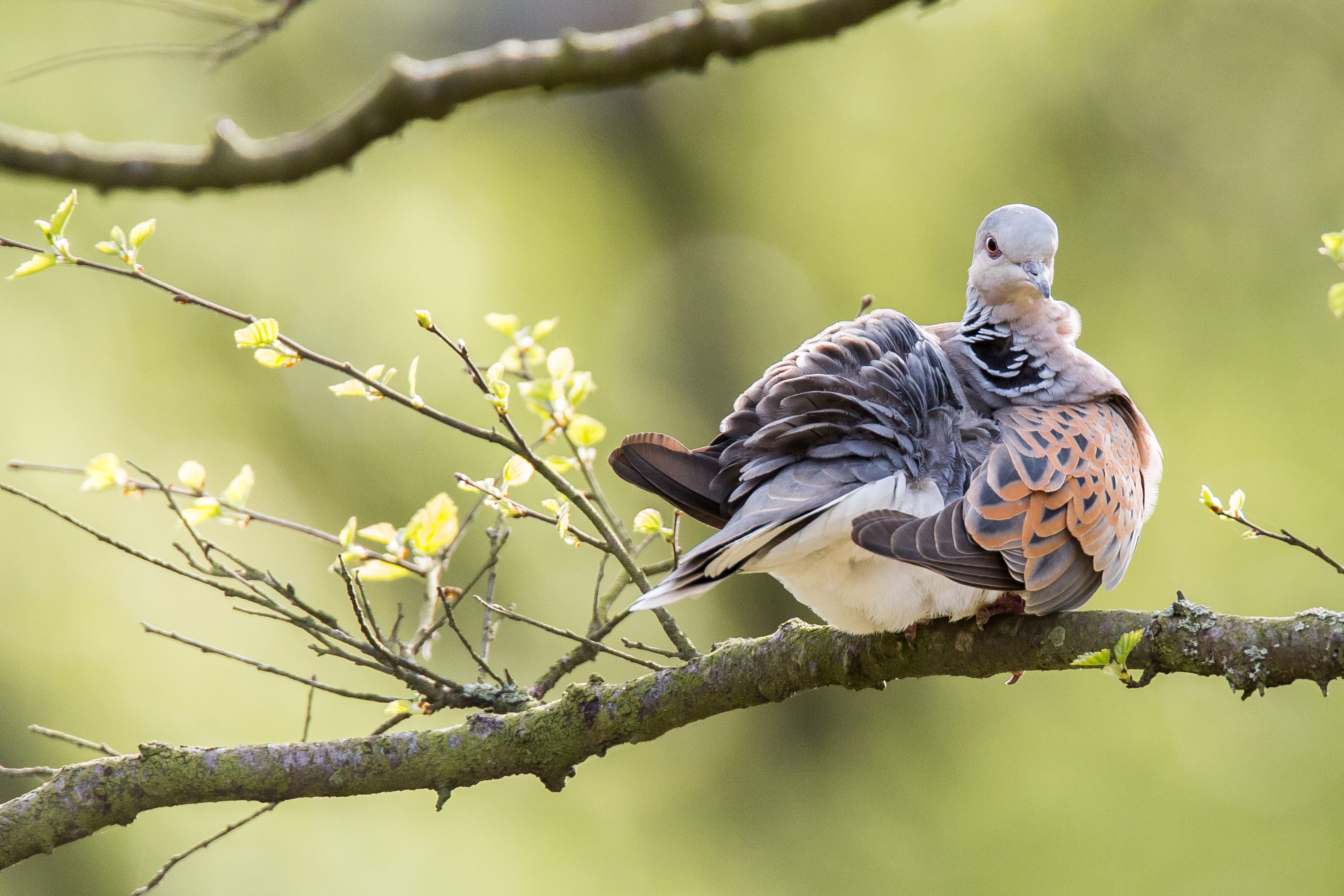 Turtle dove at Sutton Bank