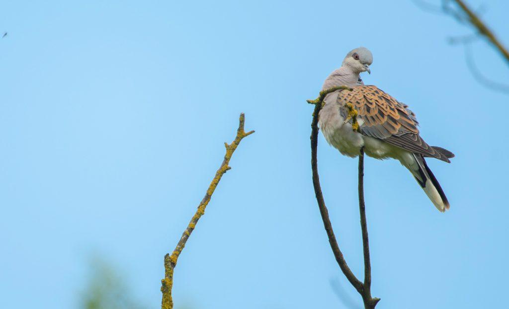 Turtle Dove - Ben Andrew (rspb-images.com)