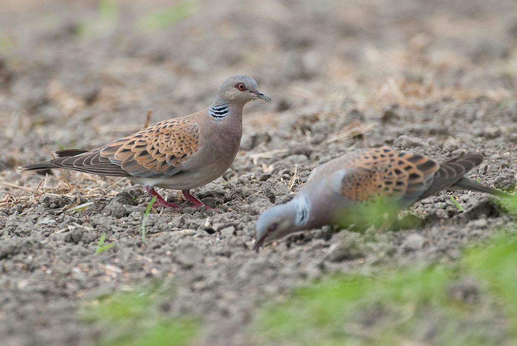 Turtle doves feeding on supplementary food - Jules Bos