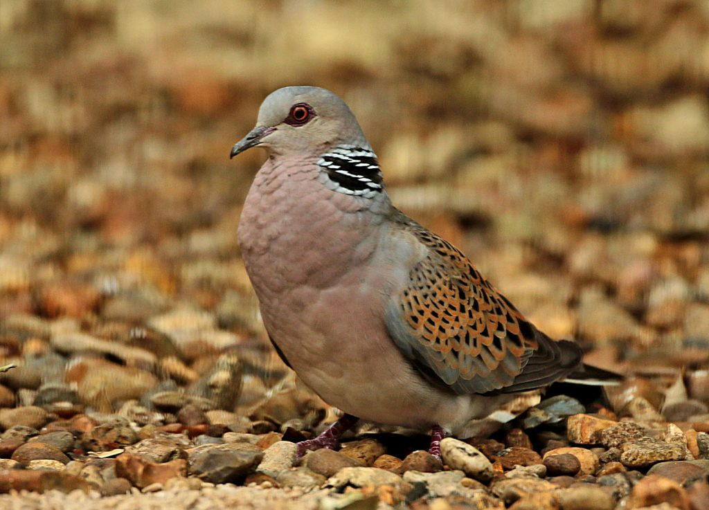 Turtle Dove - Les Bunyan