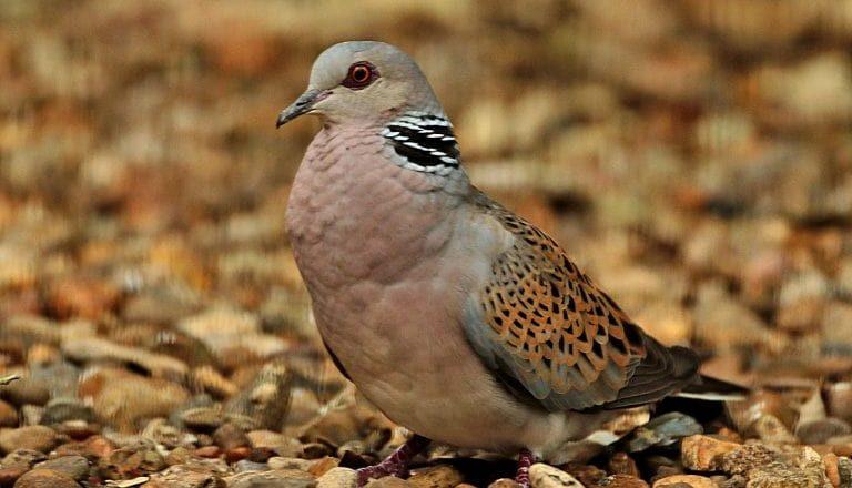 Turtle dove - Les Bunyan