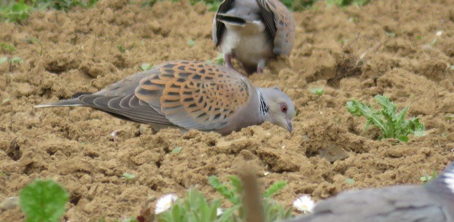 Turtle dove feeding - Nicole Khan