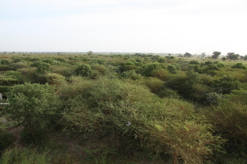 Photo: Beer Sheba (Senegal). A roost area in a seyal (acacia) bush grassland in November with mixed farmland beyond. Credit: Chris Orsman.