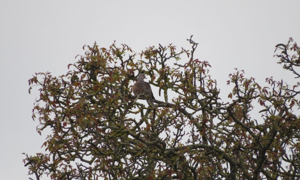 Photo: Distant turtle dove in scrub. Credit: Jonny Rankin