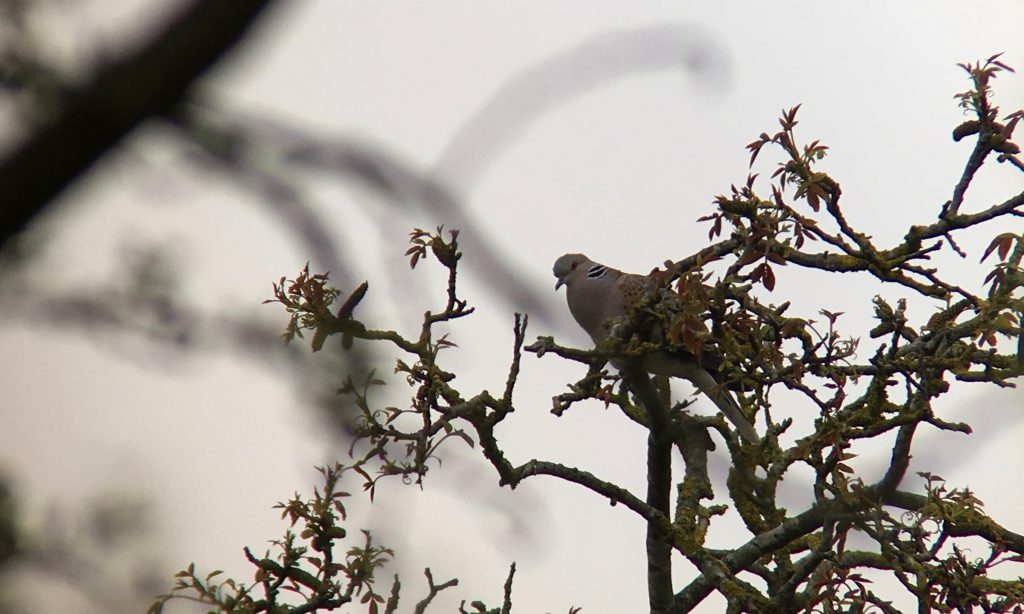Photo: Turtle dove viewed through scrub. Credit: Jonny Rankin