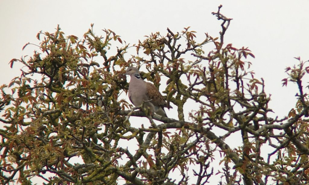 Photo: Turtle dove perched in a valuable scrub patch. Credit: Jonny Rankin