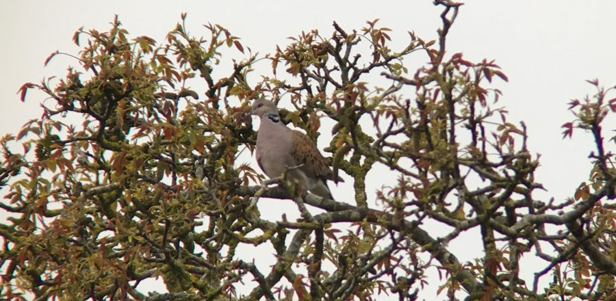 Photo: turtle dove making the most of a valuable scrub patch. Credit: Jonny Rankin