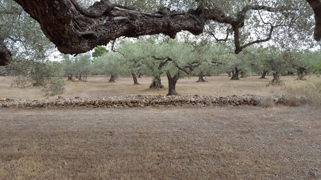 Photo: Olive groves such as this in Spain are good stopover sites during autumn migration. A low-intensity agricultural landscape with open grasslands and scattered trees. Credit: Carles Carboneras.
