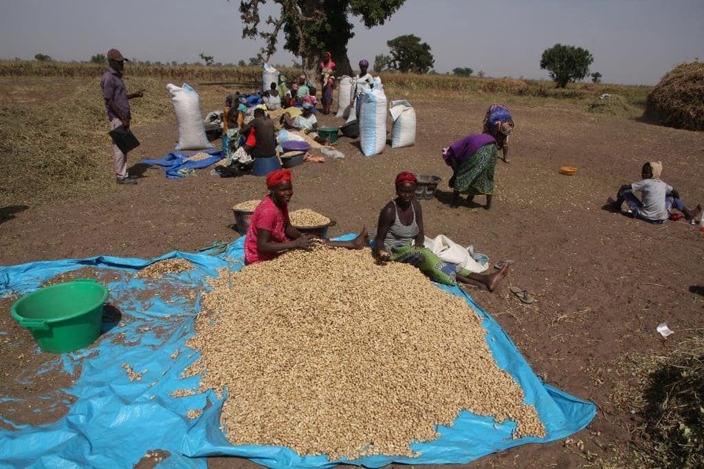 Photo: Typical peanut harvest in a community from Beer Sheba in December. Credit: Chris Orsman.