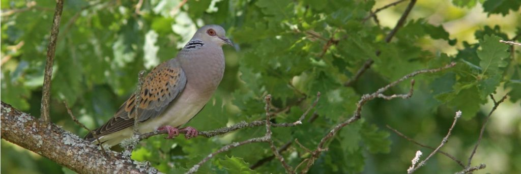 Photo: Perched turtle dove. Credit: Jean-Marc Boutrois