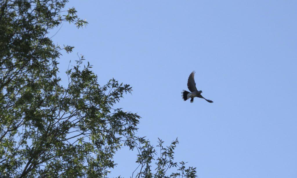 Photo: Turtle dove in flight. Credit: Jonny Rankin