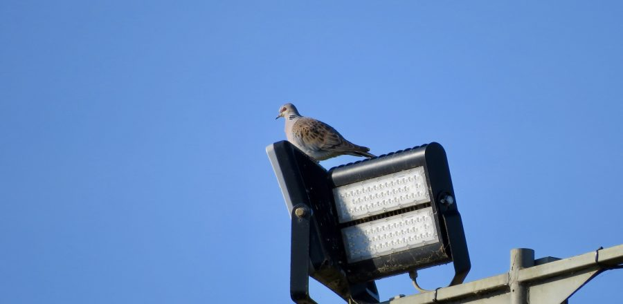 Photo: Turtle dove perched on quarry lights. Credit: Jonny Rankin