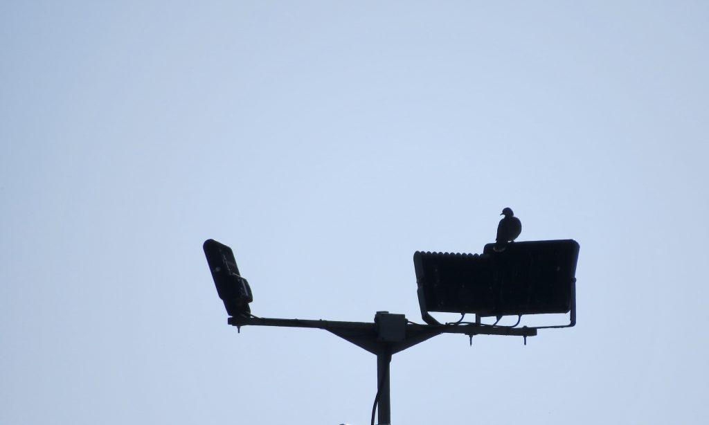 Photo: Turtle dove in silhouette. Credit: Jonny Rankin