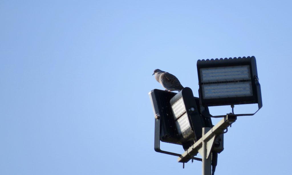 Photo: Purring turtle dove on quarry lights. Credit: Jonny Rankin