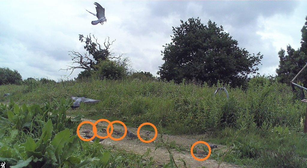 Photo: Five turtle doves (circled) making the most of a patch of supplementary feed in Kent.