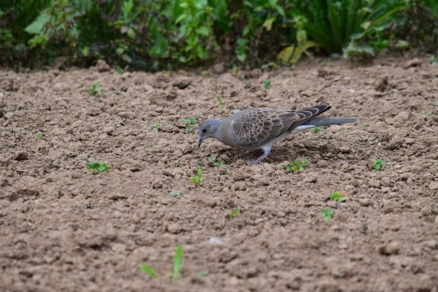 Photo: What it's all about – ensuring turtle doves are able to raise the next generation. Here a juvenile turtle dove is seen feeding on the ground. Credit: David Burridge.