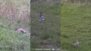 Three images of turtle doves from camera traps