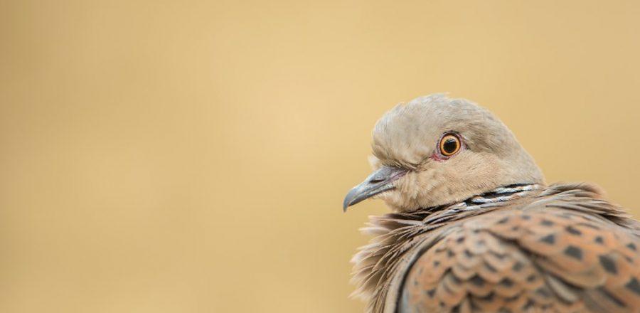Image: Turtle dove. Credit: Ben Andrew.