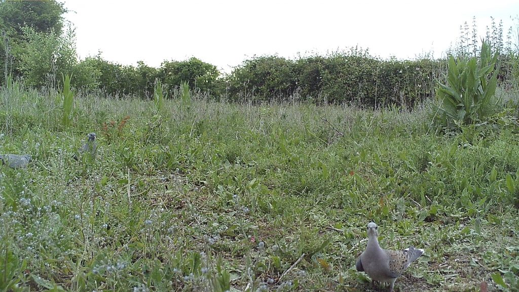 Image: Turtle dove on supplementary feeding plot. Credit: Nicole Khan.