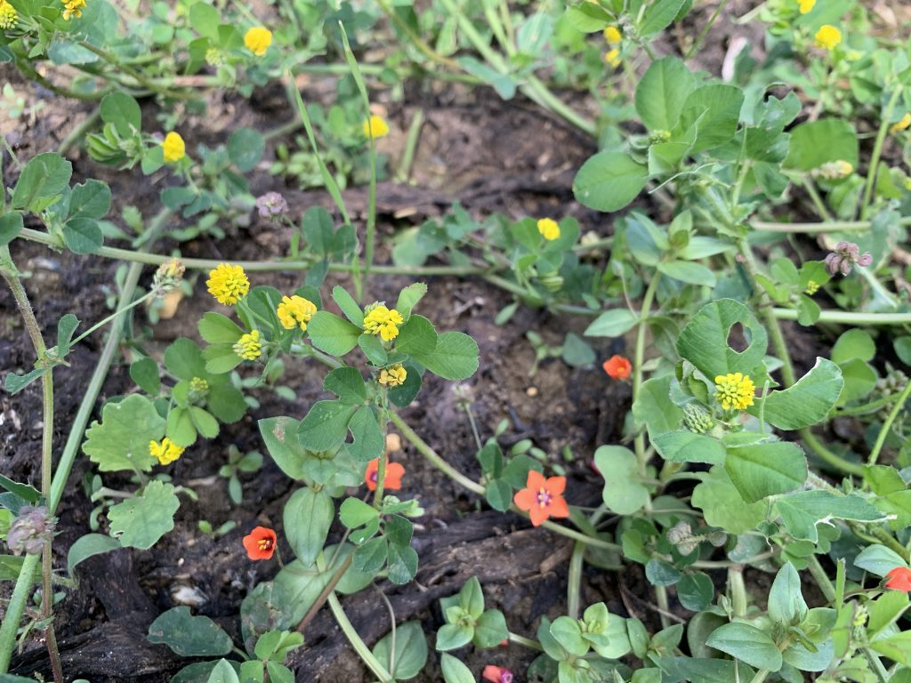 Photo: Black medick (yellow flowers) and scarlet pimpernel (orange/red flowers) on the plots. Credit: Jos Ashpole
