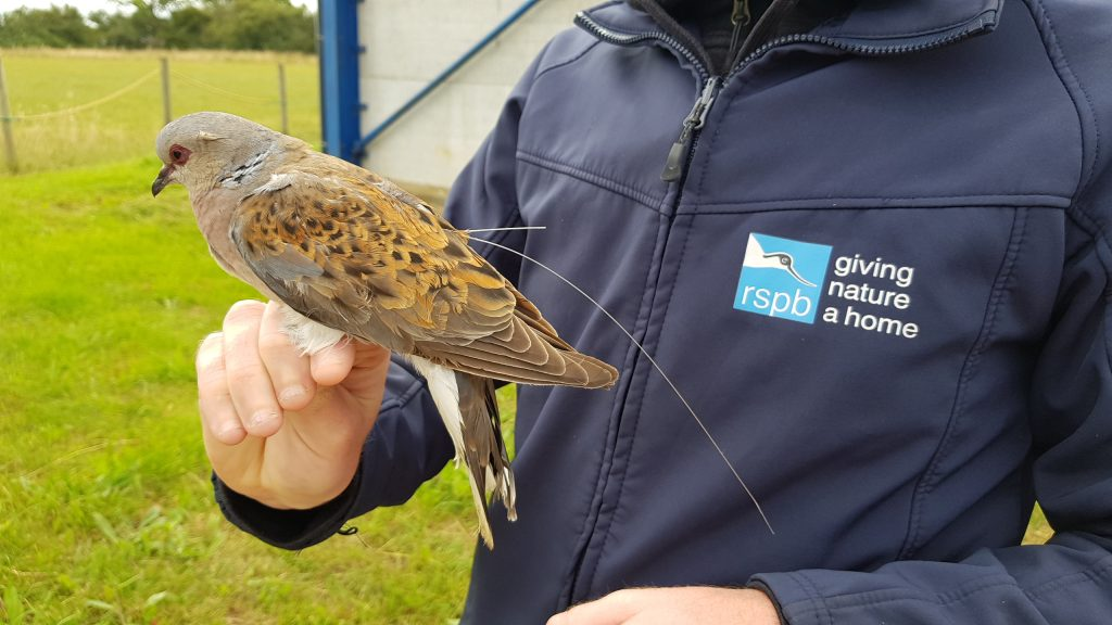 Photo: One of the birds caught at a farm near Tollesbury in Essex. Credit: Chris Orsman.