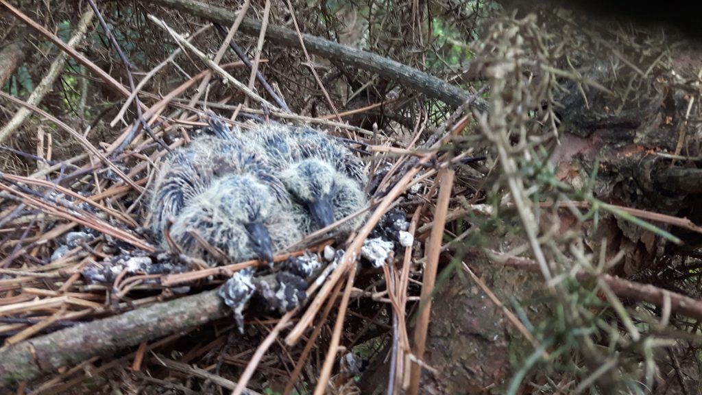 Photo: Expecting to find a fallen tag, we were pleasantly surprised to be able to confirm successful breeding! Ten days later, the female was in London. Credit: J Secker.