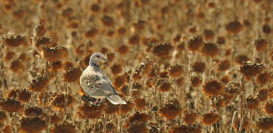 Turtle dove in a sunflower crop, Andalucía, Spain - Vincent Esteller
